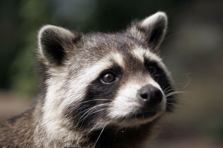 coons: portrait of a raccoon Stock Photo