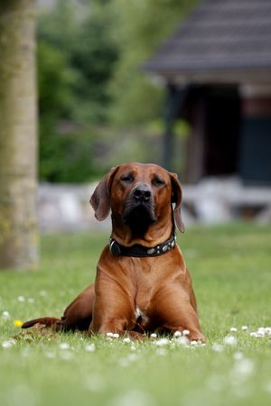 Proud Rhodesian Ridgeback lying in the grass photo