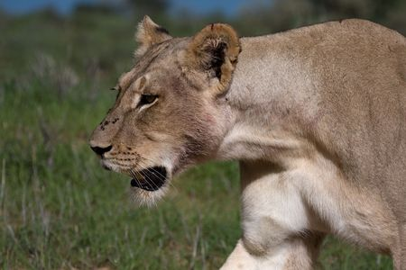 African Lion Stock Photo - 6264579