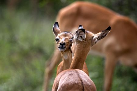 Young impala cleaning each other Stock Photo - 6285351