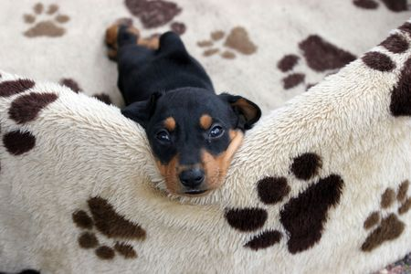 pincher: german pincher puppy