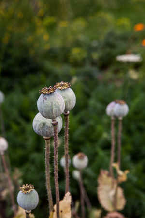 opiate: Seedpods of poppy flowers Stock Photo