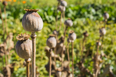 Close up of dried poppy plant