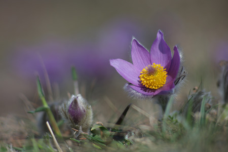 pasqueflower: Spring flower   Pasqueflower- Pulsatilla grandis  Stock Photo