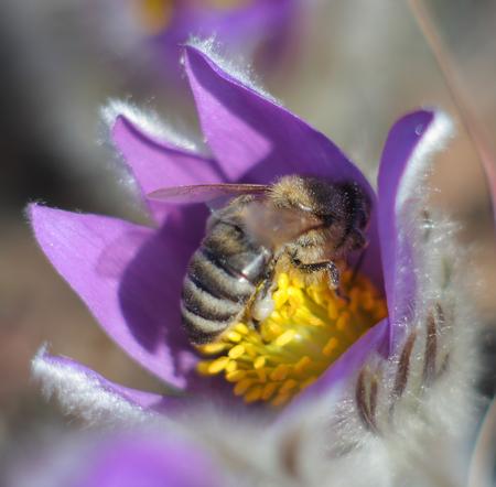 pasqueflower: Honey Bee on pasqueflower