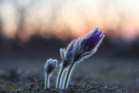 pasqueflower: Sunrise pasqueflower  Stock Photo