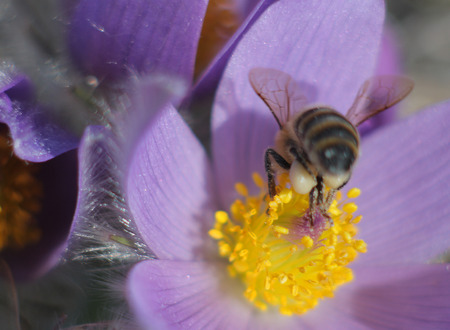 pasqueflower: Honey Bee on pasqueflower