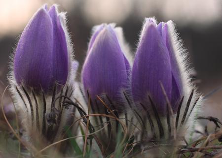 Spring flower  Pulsatilla grandis  photo