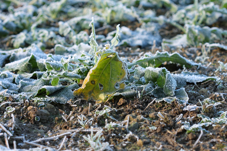 hoar: Field with beet in december morning with hoar frost Stock Photo
