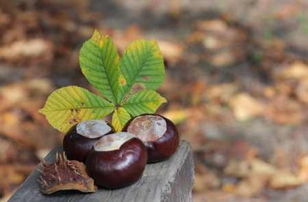 conker: conker and leaf on bench in autumn park in sunny day
