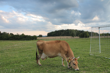 jersey cattle: Brown cows grazing on a summer pasture  between football goal