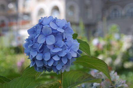 Blue hydrangea  macrophylla  flowers in spa park photo