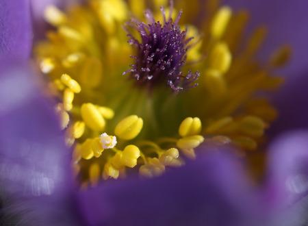 carpel: Close-up spring flower Pasqueflower- Pulsatilla grandis, detail of flower, carpel and stamen with pollen