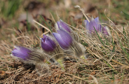 Spring flower Pasqueflower- Pulsatilla grandis, group of  violet flowers on meadow photo