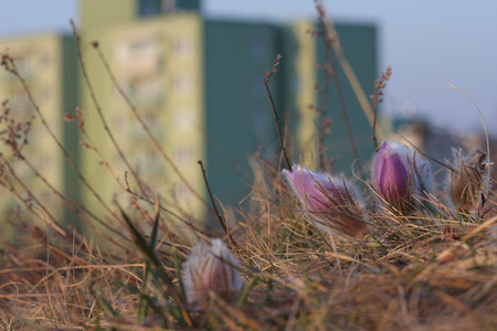 housing estate: Spring flower Pasqueflower- Pulsatilla grandis, group of flowers on grass on meadow, on background blurry housing estate, sunrise time. Stock Photo