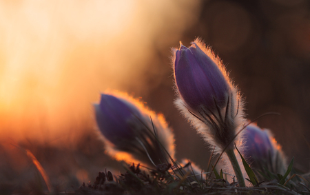 pasqueflower: Spring flower Pasqueflower- Pulsatilla grandis, three purple flowers, on background sunset on meadow Stock Photo