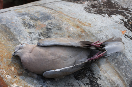 putrefied: Dead bird collared dove lying on   a barrel of  toxic chemical waste.