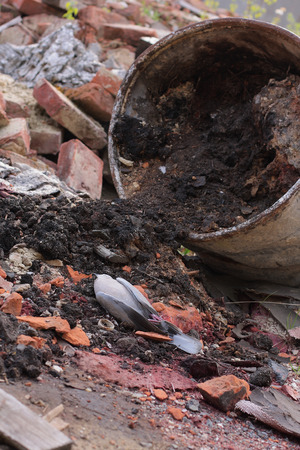 putrefied: Dead bird collared dove lying in front of  a barrel of  toxic chemical waste. Stock Photo