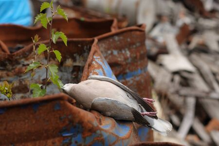 exitus: Dead bird collared dove lying on a barrel of  toxic chemical waste.