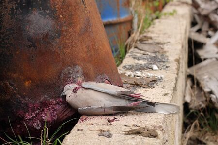 exitus: Dead bird collared dove lying in front of  a barrel of  toxic chemical waste. Stock Photo