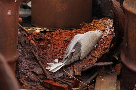 exitus: Dead bird collared dove lying between the  barrels of  toxic chemical waste. Stock Photo