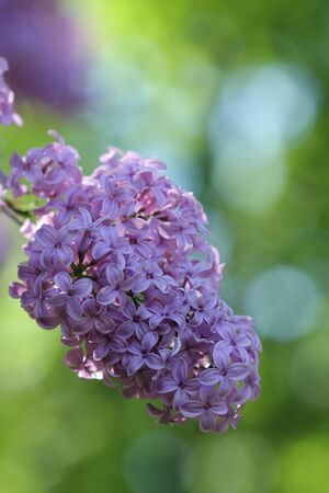 syringa: Syringa flower  in the  park in sunny day in May Stock Photo
