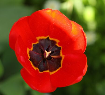 carpel: Close-up spring flower Tulip , detail of flower, carpel and stamen with pollen