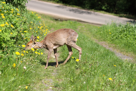 Young roe Capreolus capreolus in the green grass in the spring sunny day.Sick roe poisoning after rape.