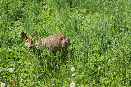 grassing: Young roe Capreolus capreolus in the green grass in the spring sunny day.Sick roe poisoning after rape.