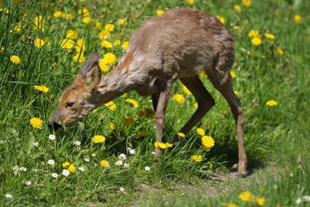 hydrophobia: Giovane capreolus capriolo Capreolus nell'erba verde in primavera soleggiata intossicazione day.Sick uova dopo lo stupro. Archivio Fotografico