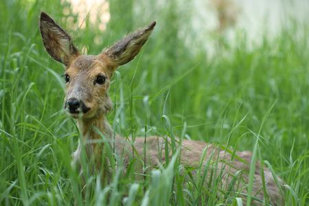 poisoning: Giovane capreolus capriolo Capreolus nell'erba verde in primavera soleggiata intossicazione day.Sick uova dopo lo stupro. Archivio Fotografico
