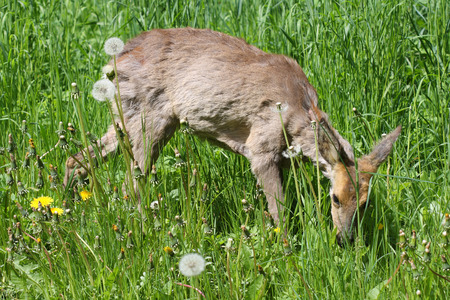 hydrophobia: Young roe Capreolus capreolus in the green grass in the spring sunny day.Sick roe poisoning after rape.