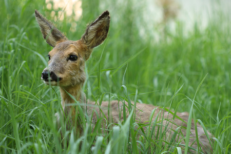 capreolus: Young roe Capreolus capreolus in the green grass in the spring sunny day.Sick roe poisoning after rape.
