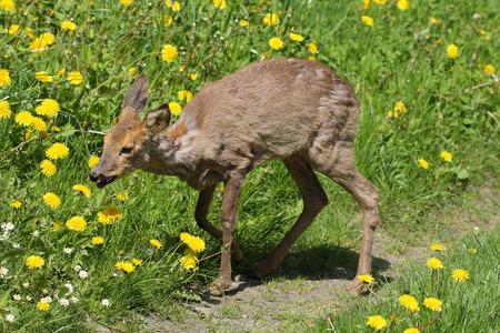 Jonge reeën Capreolus capreolus in het groene gras in het voorjaar zonnige day.Sick ree vergiftiging na verkrachting.