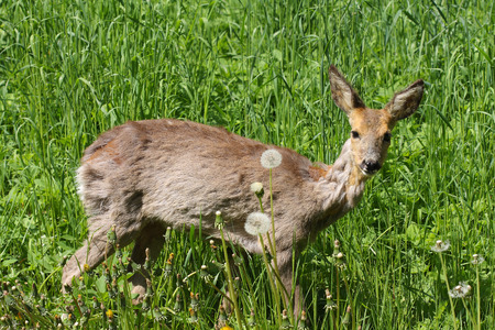 hydrophobia: Young roe (Capreolus capreolus) in the green gras in the  spring sunny day.Sick roe after poisoning rape. Stock Photo