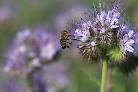 honeybee: Close-up of  phacelia  flower (phacelia tanacetifolia) and honeybee collects nectar