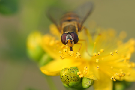 mimicry: Hoverfly( Episyrphus balteatus) on Hypericum flowers (Hypericum perforatum or St Johns wort) Stock Photo