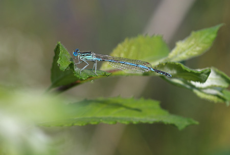damselfly: Common Blue Damselfly (Enallagma cyathigerum) sits on a leaf