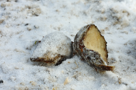 animals feeding: Sugar beet for feeding animals on ground in snow