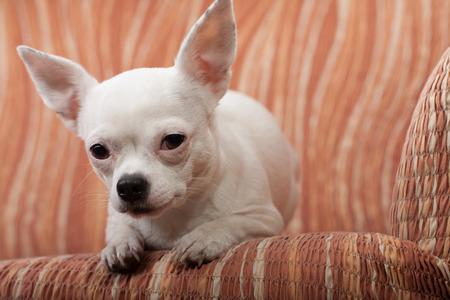 white sofa: White Chihuahua lying on sofa Stock Photo