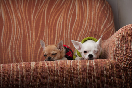 perros vestidos: Dos perros de Chihuahua vestidas con jerseys de descanso en el sofá Foto de archivo