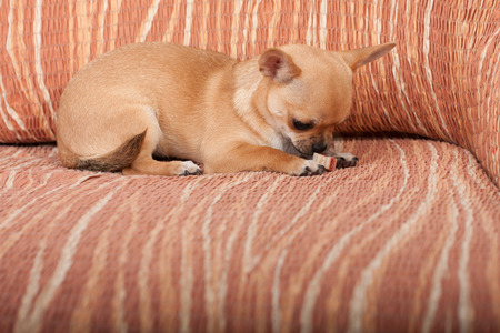 chewy: Cinnamon Chihuahua puppy with chewy treat lying on sofa Stock Photo