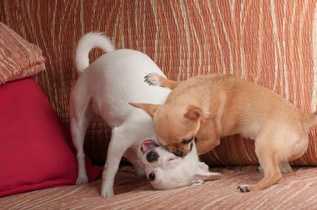white sofa: Cinnamon Chihuahua puppy playing with white Chihuahua on sofa Stock Photo