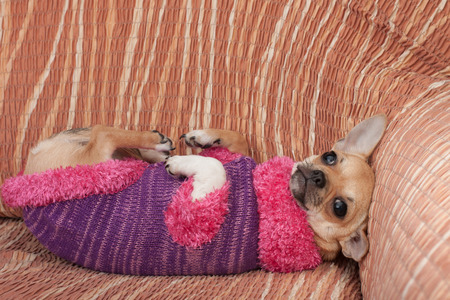 pullover: Cinnamon Chihuahua puppy dressed with pullover lying on her back on sofa Stock Photo