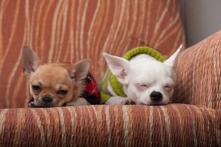 pullovers: Two Chihuahua dogs dressed with pullovers resting on sofa