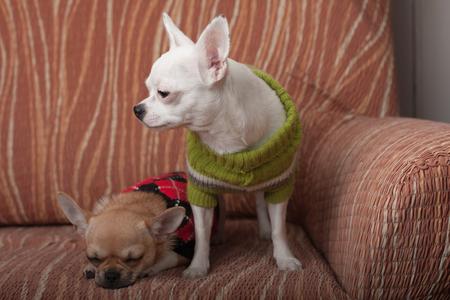 perros vestidos: Dos perros de Chihuahua vestidas con jerseys de descanso en el sofá, 4 meses de edad cachorro de canela y 3 años de edad blanco hembra. Foto de archivo