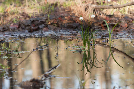 protected plant: Two plants spring snowflake with reflection, growing in the swamp in nature reserve. Stock Photo