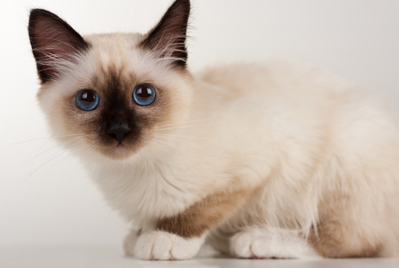 A seal point Birman cat, 4 month old kitten, male with blue eyes sitting  on table  Stock Photo