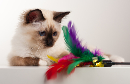 A seal point Birman cat, 4 month old kitten, male with blue eyes watching cat toy.
