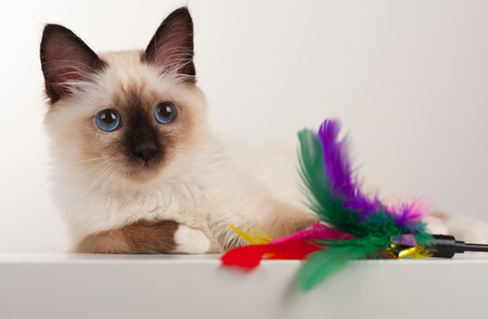 A seal point Birman cat, 4 month old kitten, male with blue eyes lying on table with cat toy
